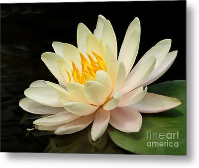 Sweet Peach Water Lily Metal Print by Sabrina L Ryan