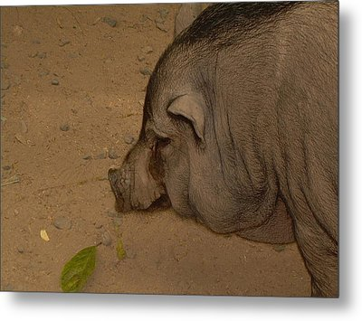 Metal Print featuring the photograph Sweet Pig by Victoria Lakes