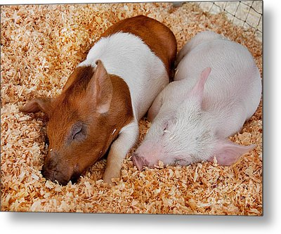 Metal Print featuring the photograph Sweet Piglets Nap by Valerie Garner