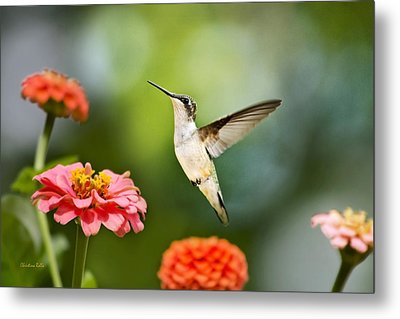 Metal Print featuring the photograph Sweet Promise Hummingbird by Christina Rollo