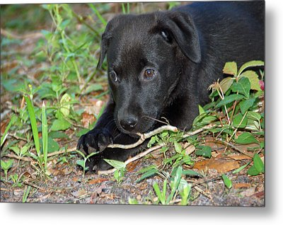 Sweet Puppy Metal Print by Aimee L Maher Photography and Art Visit ALMGallerydotcom