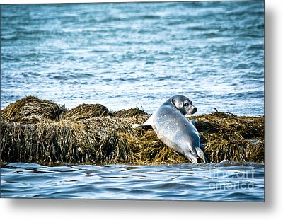 Sweet Seal Metal Print