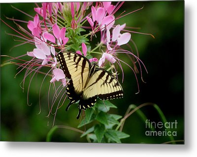 Sweet Swallowtail Metal Print by Living Color Photography Lorraine Lynch