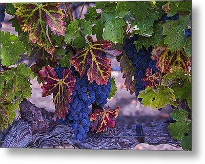 Sweet Wine Grapes Metal Print by Garry Gay