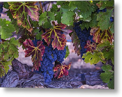 Sweet Wine Grapes Metal Print