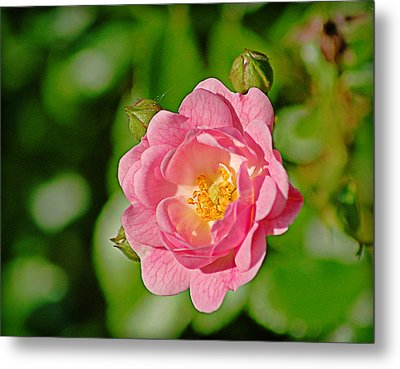 Sweetheart Rose Metal Print by Linda Brown