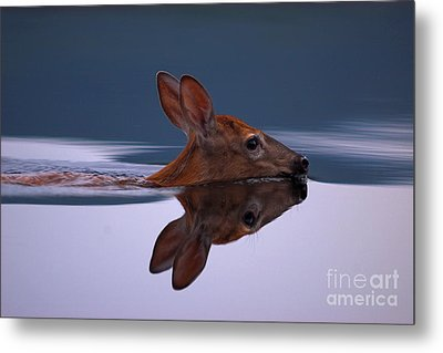 Swimming Fawn Metal Print by Jane Axman