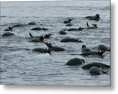 Swimming Gentoo Penguins Metal Print