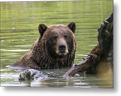 Swimming Grizzly Metal Print by Saya Studios