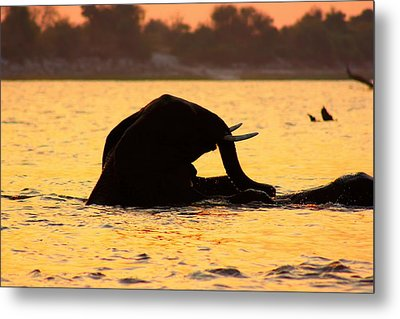 Metal Print featuring the photograph Swimming Kalahari Elephants by Amanda Stadther