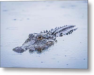 Swimming On A Rainy Day - Alligator Photograph Metal Print