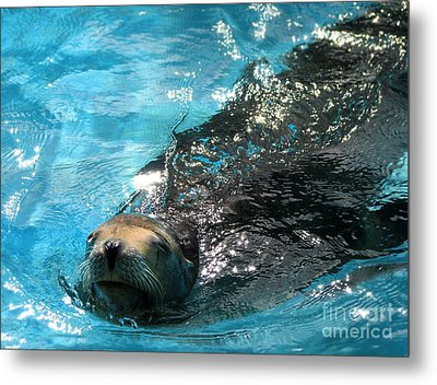 Metal Print featuring the photograph Swimming Sea Lion by Kristine Merc