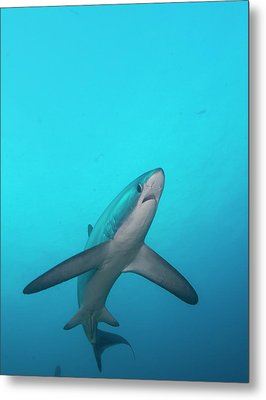 Swimming Thresher Shark Metal Print by Scubazoo