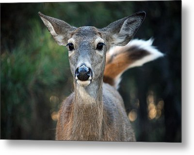 Swish Of The Tail  Metal Print by Rita Kay Adams