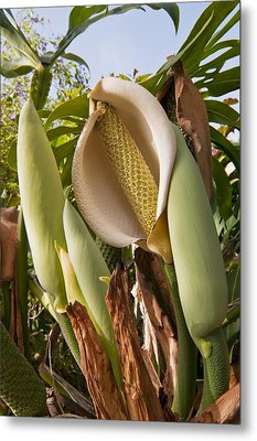 Swiss Cheese Plant (monstera Deliciosa) Metal Print by Science Photo Library