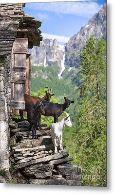 Swiss Goats Metal Print by Maurizio Bacciarini