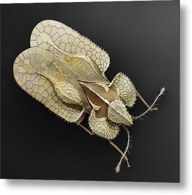 Sycamore Lace Bug Sem Metal Print by Albert Lleal