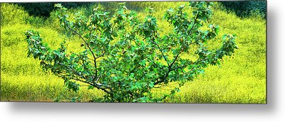 Sycamore Tree In Mustard Field Metal Print by Panoramic Images