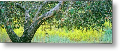 Sycamore Tree In Mustard Field, San Metal Print by Panoramic Images