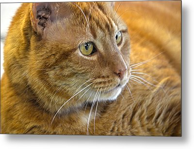 Tabby Cat Portrait Metal Print by Sandi OReilly