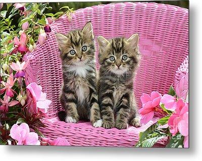Tabby Kittens Metal Print by Greg Cuddiford