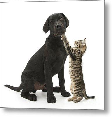 Tabby Male Kitten & Black Labrador Metal Print by Mark Taylor