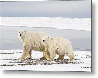 Tagged And Collared Female Polar Bear Metal Print by Steven Kazlowski