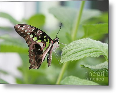 Tailed Jay Butterfly #3 Metal Print