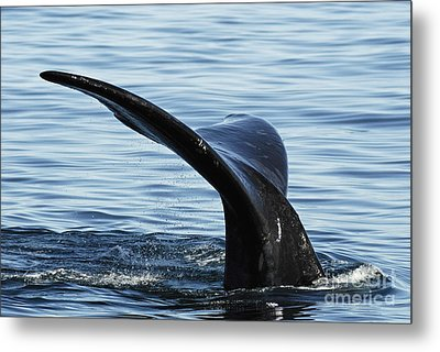 Tailfin Of Southern Right Whale In Water Metal Print by Sami Sarkis