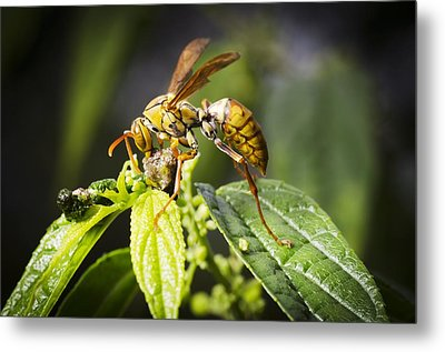 Taiwan Hornet Feeding On A Caterpillar Metal Print by Science Photo Library
