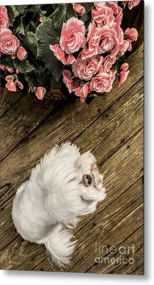 Havanese Puppy Metal Print by Charlie Cliques