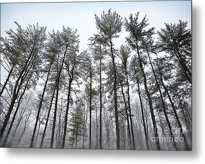 Tall Snow Covered Trees Metal Print by Sharon Dominick