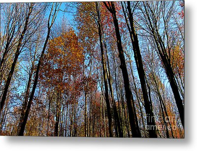 Tall Trees Autumn 2011 Metal Print by Tina M Wenger