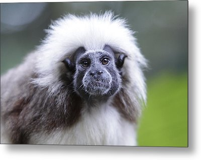Metal Print featuring the photograph Tamarins Face by Shoal Hollingsworth