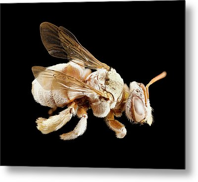 Tarsalia Bee Metal Print by Us Geological Survey