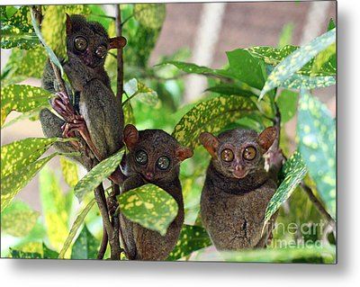 Tarsier Metal Print by Lars Ruecker