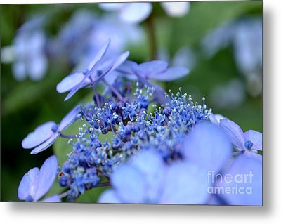 Metal Print featuring the photograph Taube Lacecap Hydrangea by Scott Lyons