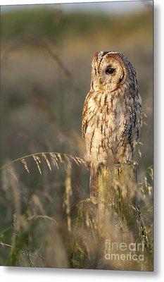 Tawny Owl Metal Print by Tim Gainey
