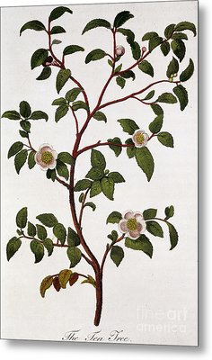 Tea Branch Of Camellia Sinensis Metal Print by Anonymous