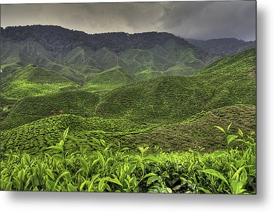 Tea Farm Metal Print by Mario Legaspi