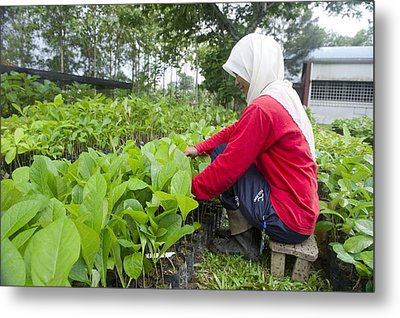 Teak Planting, Malaysia Metal Print by Science Photo Library