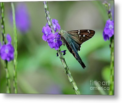 Teal Long Tailed Skipper Butterfly Metal Print