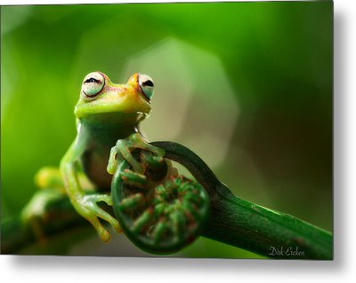 tree frog Hypsiboas punctatus Metal Print