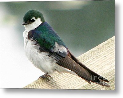 Violet-green Swallow Metal Print