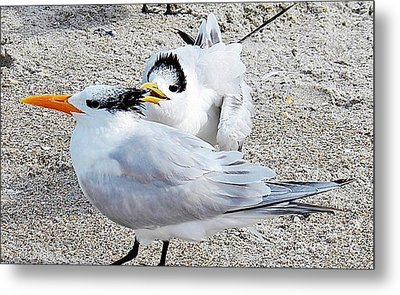 Telling Secrets Royal Terns Metal Print by Judy Via-Wolff