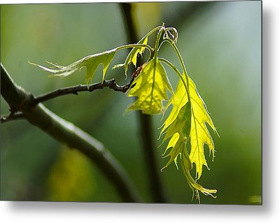 Tender Oak Leaves Emerge Metal Print by Beth Akerman