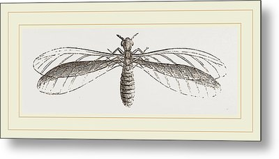 Termes Bellicosus In Winged State Metal Print