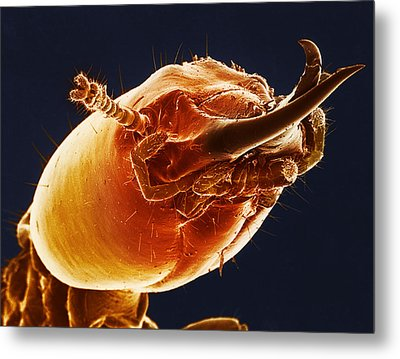 Termite Soldier, Sem Metal Print by Science Source