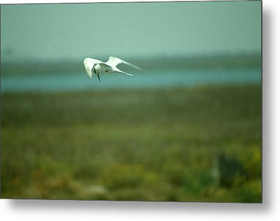 Metal Print featuring the photograph Tern In Flight by Bonnie Muir