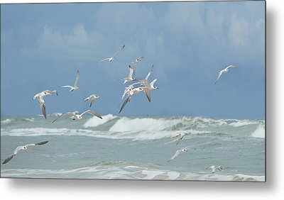 Terns In Flight Metal Print